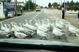 Geese have the right of way in Gallipoli