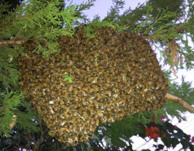 פינוי נחיל דבורים ללא רעל