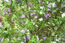 ברונפלסיה קטנת-פרחים (תמול שלשום) 10 ליטר