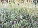 לבן-עלה (ליקופילום) הוונלי קלאוד 10 ליטר