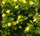 מנדווילה צהובה (פנטלינון צהוב) 10 ליטר
