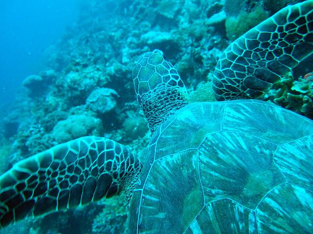 צבי ים - מואלבואל