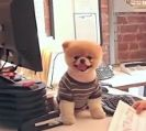 סרטונים של בו - יום בחיי הכלב הכי חמוד בעולם