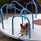 מיטבול הכלב הקורגי בקרוסלה