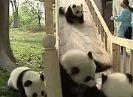 דובי פנדה מתגלשים ביחד