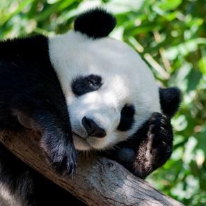 דוב פנדה בסכנת הכחדה