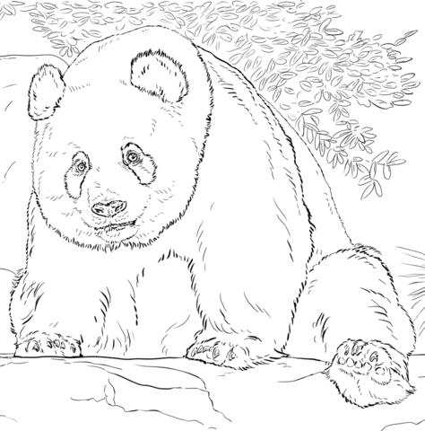 דוב פנדה מחייך