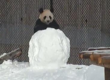 פנדה נגד איש שלג