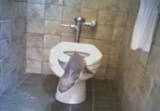 כריש בתוך אסלת השירותים