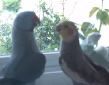 סרטון מצחיק תוכי קוקטייל מתנשקים