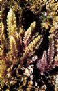 Asparagopsis taxiformis