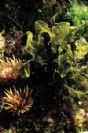 Dictyopteris membranacea