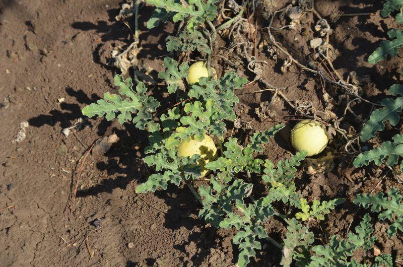אבטיח הפקועה - Citrullus colocynthis, ליקוט צמחי ב
