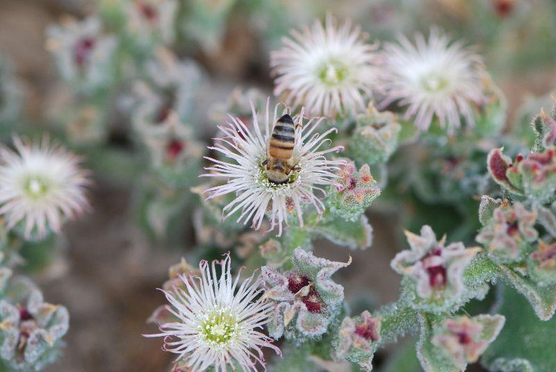 אהל הגבישים (Mesembryanthemum crystallinum)
