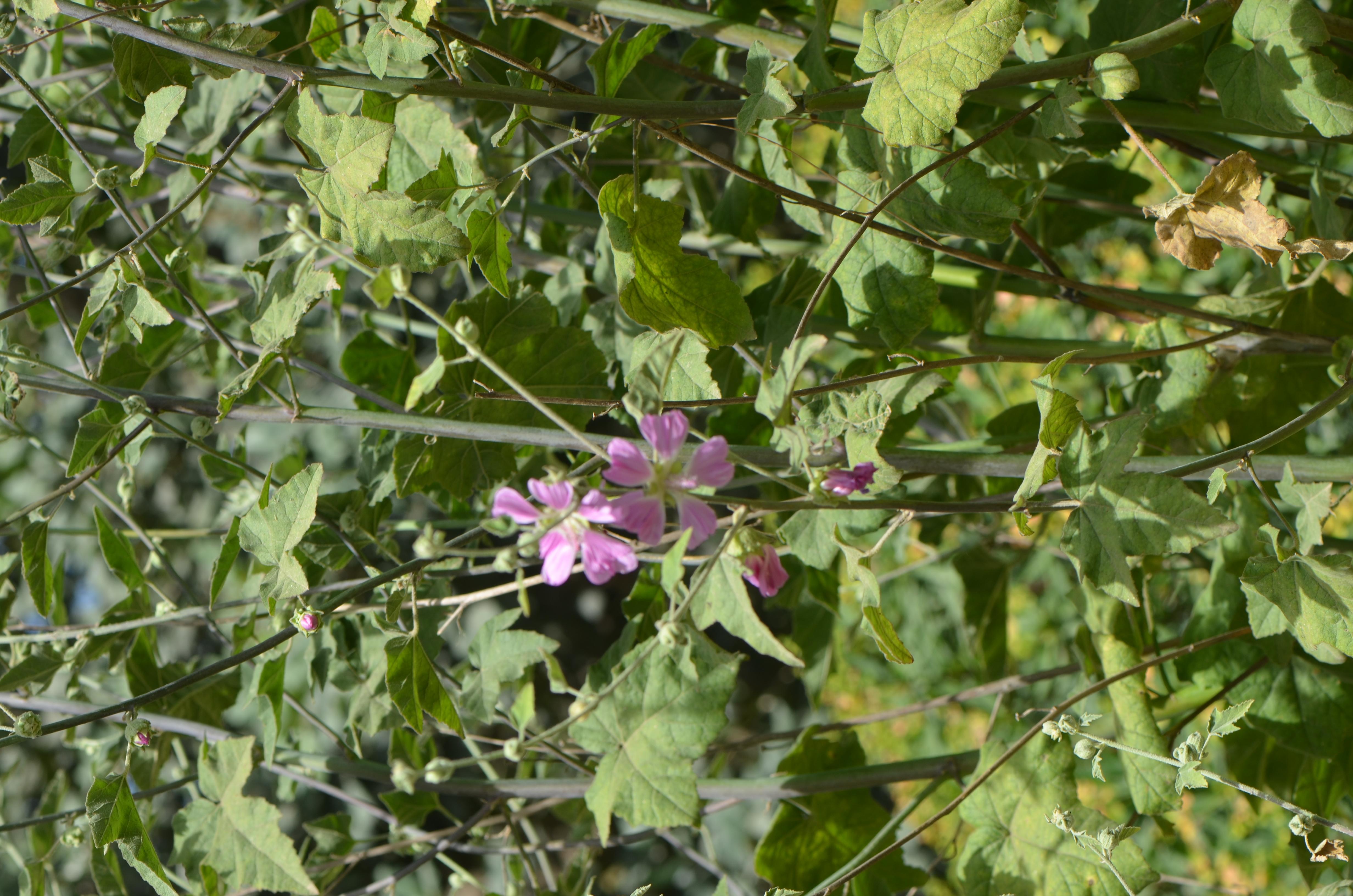 מעוג קפח (Lavatera bryoniifolia)
