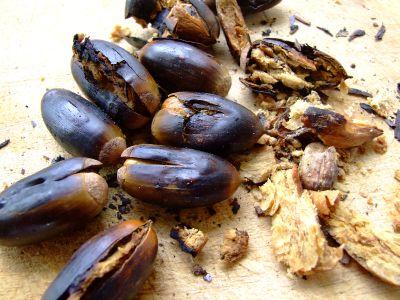 אלון התבור Quercus ithaburensisקפה, ליקוט