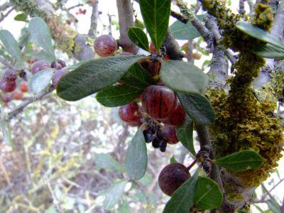 אשחר ארץ ישראלי Rhamnus lycioides , ליקוט צמחי בר