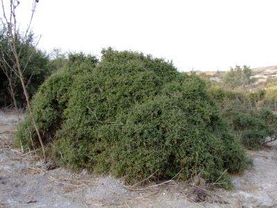 אשחר ארץ ישראלי Rhamnus lycioides