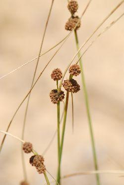 אגמון הכדורים Scirpus holoschoenus