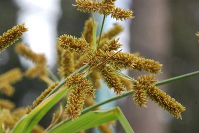 גומא Cyperus, צמחי מים, צמחי בר נאכלים, ליקוט