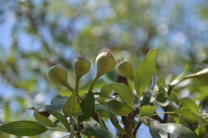 אגס סורי Pyrus syriaca