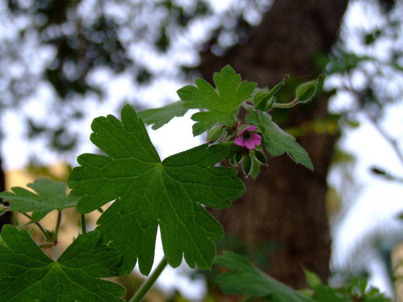גרניון עגול Geranium rotundifolium ליקוט צמחי בר