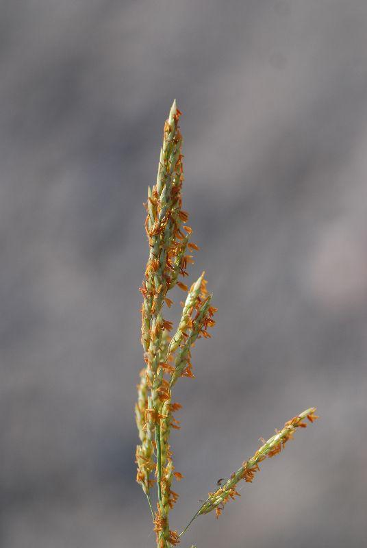 דורת ארם צובא Sorghum halepense, ליקוט צמחי בר