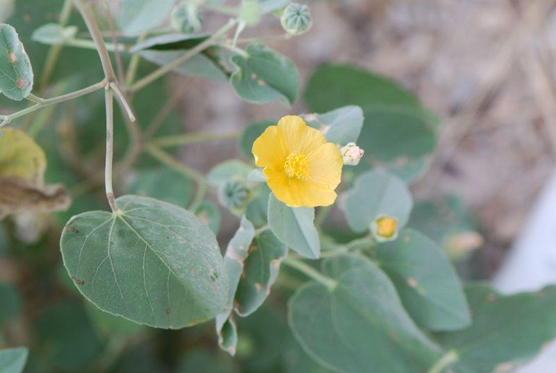 אבוטילון השיח (Abutilon fruticosum)
