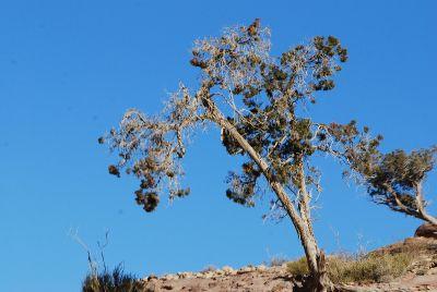 ערער ארזי Juniperus oxycedrus