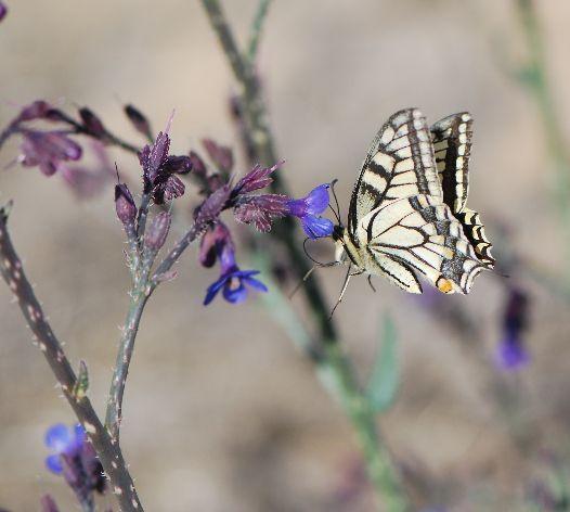לשון הפר הסמורה - Prickly alkanet