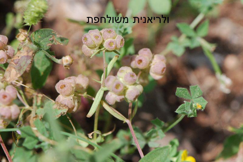 ולריינית Valerianella ליקוט צמחי בר