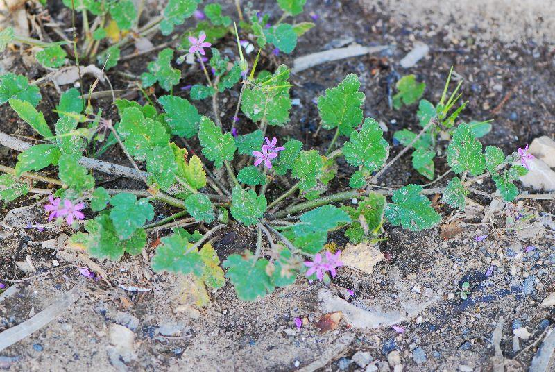 מקור חסידה חלמיתי Erodium Malacoides ליקוט צמחי בר