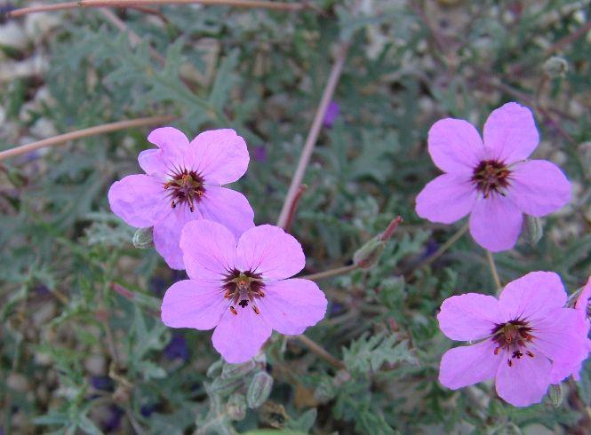 מקור חסידה שעיר Erodium crassifolium ליקוט צמחי בר