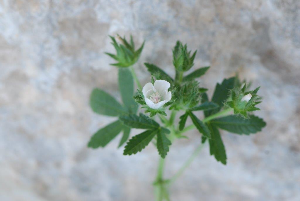נטופית שעירה (Althaea hirsuta)