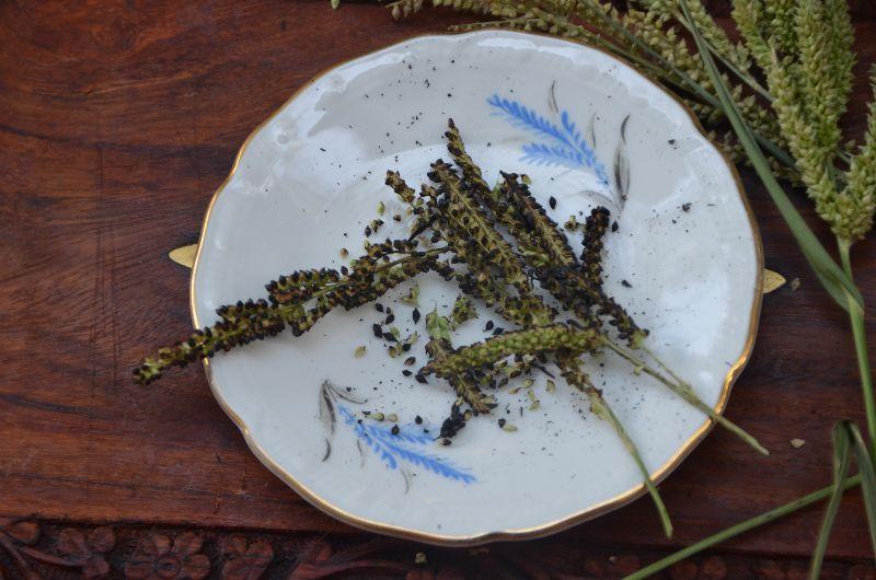 עבדקן הדורים Polypogon viridisליקוט צמחי בר