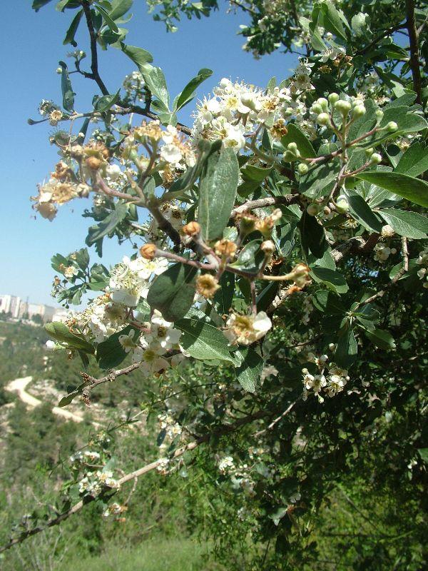 צמחי ישראל, צמחי בר נאכלים, יש מה לאכול, רחלי עינב