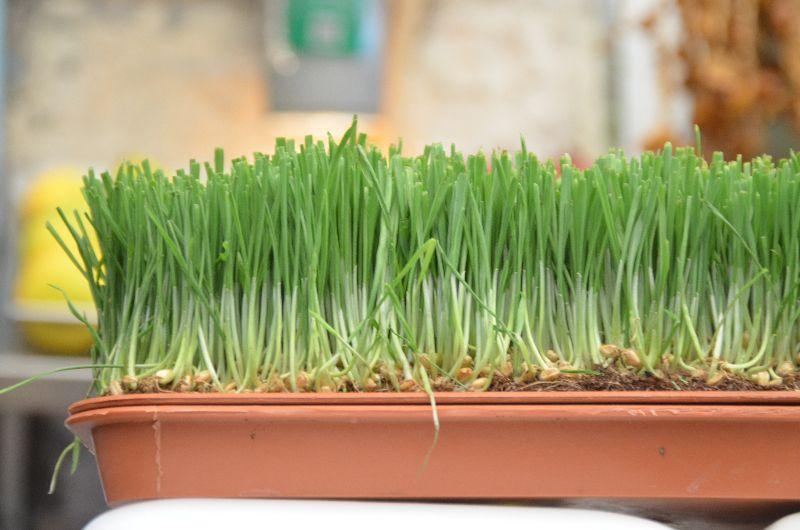 חיטת הבר Triticum dicoccoides, ליקוט צמחים,