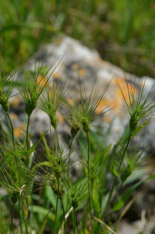 בן חיטה רב אנפין Aegilops peregrina ליקוט צמחי בר