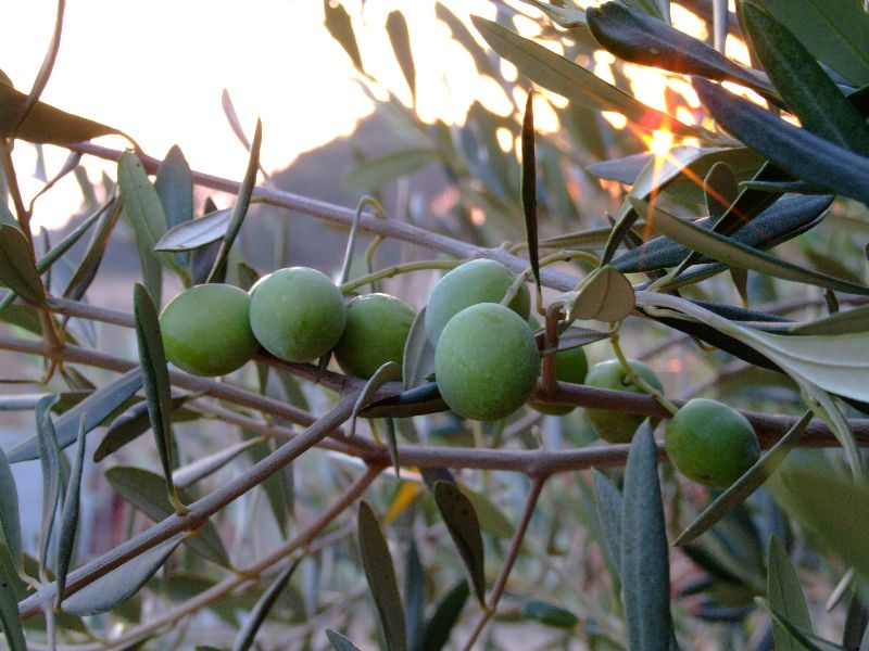 זית אירופי, זיתים כבושים, רחלי עינב, צמחי בר נאכלי