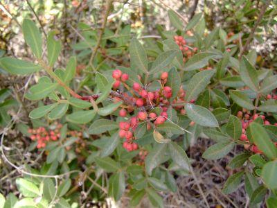 אלת המסטיק Pistacia lentiscus, ליקוט צמחי בר,