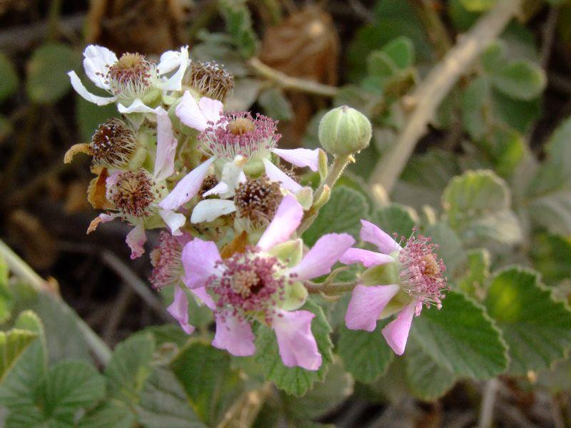 פטל Rubus
