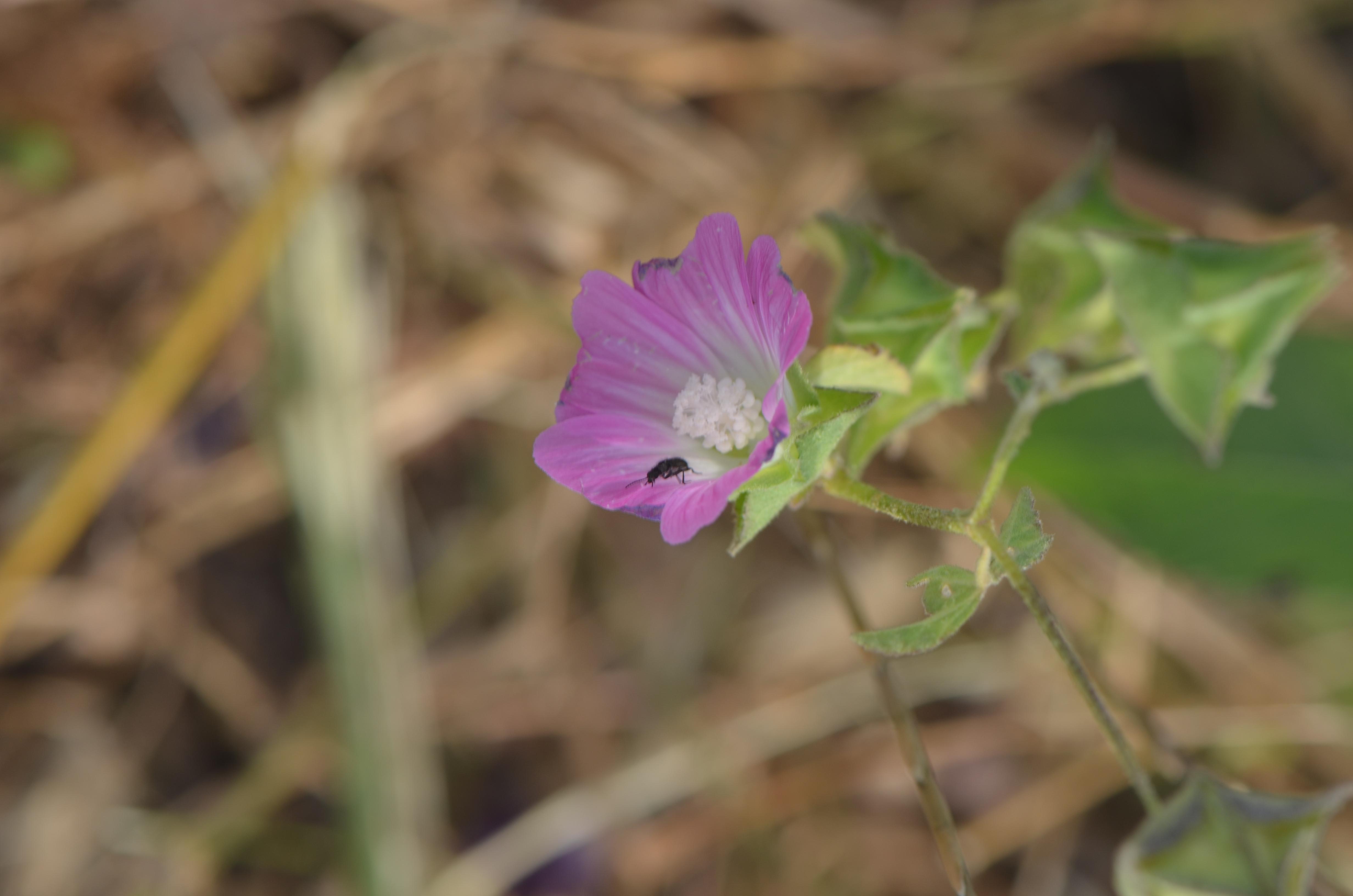 מעוג מנוקד (Lavatera punctata)