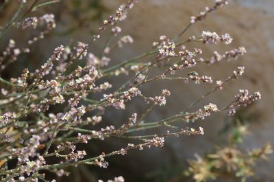 ארכובית ארץ ישראלית, ליקוט, צמחי בר נאכלים