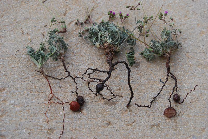 מקור חסידה שעיר Erodium crassifolium