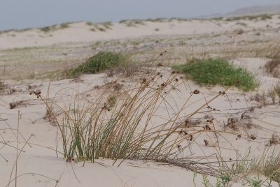 אגמון הכדורים Scirpus holoschoenus צמחי חוף, ליקוט