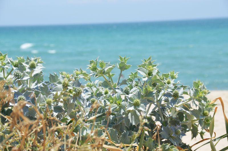 חרחבינה חופית (Eryngium maritimum)