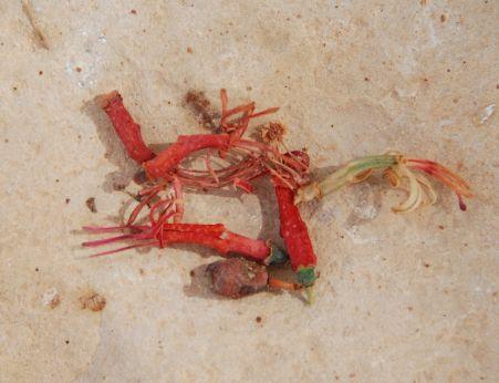הרנוג השיטים  Plicosepalus acaciae