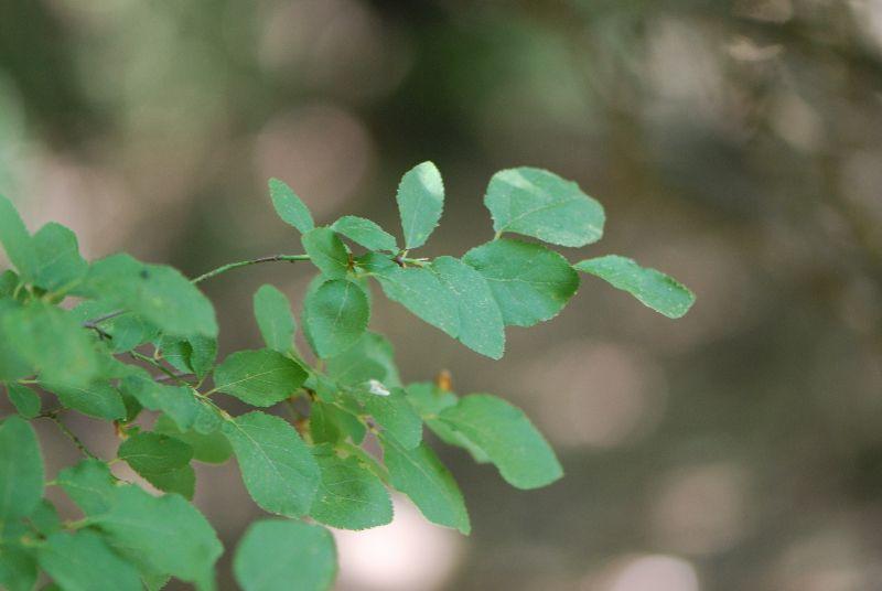 שזיף הדב Prunus ursina