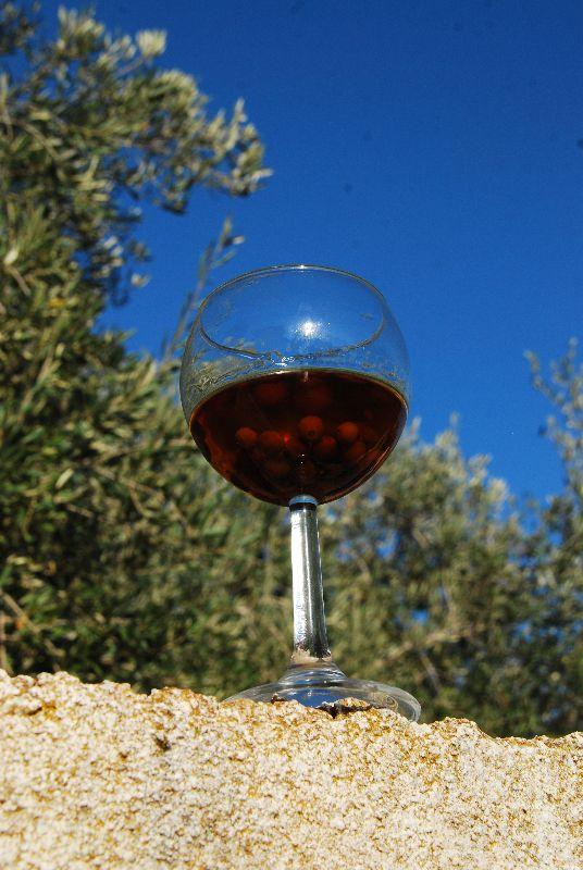 דבקון הזית - Viscum cruciatum