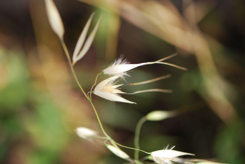 שיבולת שועל נפוצה Avena sterilis ליקוט צמחי בר